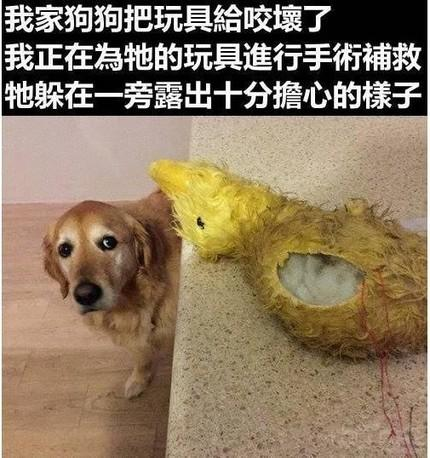 犬界演技担当——金毛